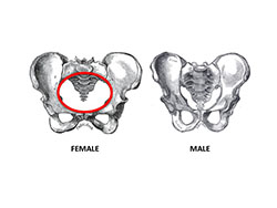 Female (left) and male (right) hip bones. Notice that the birth canal (in red) is much larger in the female than in the male and that the female hip bones are wider