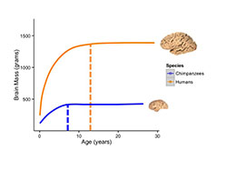 Brain growth in humans and chimpanzees. Click for more detail.