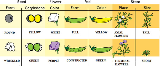 Traits that Gregor Mendel studied in his pea plant experiments. Mendel wanted to know how organisms pass traits from generation to generation. To do this he would chose parent plants with one of these specific traits, allow these plants to reproduce, and then observed the traits in the offspring plants. Image by Mariana Ruiz LadyofHats.