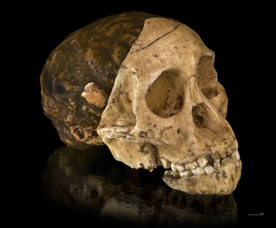 Skull of the Taung Child. The endocast can be seen behind the upper face. Image by Didier Descouens.