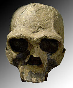 Cranium of Homo erectus from east Africa. Image by Luna04~commonswiki.