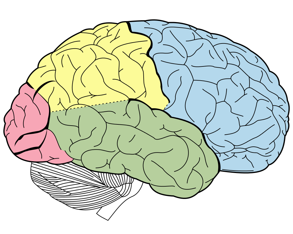 cerebral cortex and brain The cerebral cortex is the outer surface of the cerebral hemispheres it is the  highest level of the brain and has about 20 billion neurons in the human brain  which.
