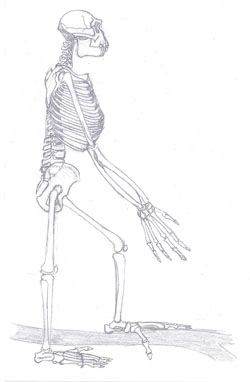 A sketch of Ardipithecus ramidus, adapted to move in trees. Image by Tobias Fluegel.