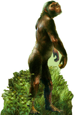 An artist's reconstruction of Australopithecus afarensis. Image by Michael Hagelberg.