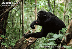 Chimpanzee using a stick to fish for termites in the wild.