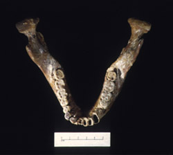 This is the jaw of Homo erectus. It's back teeth are really small, just like ours. Image courtesy of Institute of Human Origins, Arizona State University.