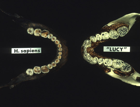 Here is a photo of a human jaw (left) compared to an australopith jaw (right). Notice the big difference in molar size. Image courtesy of Institute of Human Origins, Arizona State University.