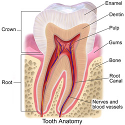 This is an illustration showing the different parts of a human tooth. Notice how thick the enamel is. Image by BruceBlaus.
