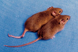 Some epigenetic switch was flipped for one of these twin mice to have a kinky tail. Image courtesy of Emma Whitelaw, University of Sydney, Australia.