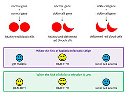 Sickle cell genes. Click for more detail.