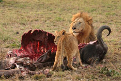 Lions and the other living carnivores of Africa are the only survivors of a large cast of meat-eaters that lived alongside our early ancestors. Image by Luca Galuzzi - www.galuzzi.it.