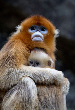 Kin selection predicts that this Golden Snub-Nosed Monkey is going to help out her infant even if it can't reciprocate. Image by Giovanni Mari.
