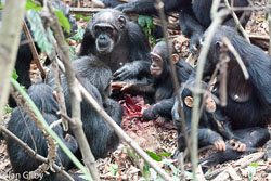 A group of chimpanzees share the remains of one of their hunts. Photo courtesy of Ian Gilby.