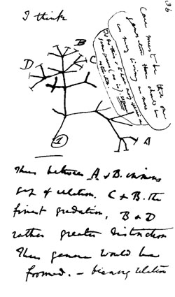 Darwin drew this sketch in his journal in 1837. This is his first drawing of the now famous evolutionary tree. Image by Charles Darwin