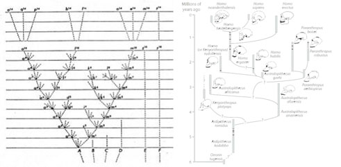 Here Darwin's final sketch of the evolutionary tree as it appears in On the Origin of Species (left) is show along side the human family tree (right). The way we think about and draw descent goes back to Darwin.