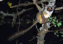 Galagos will sometimes sleep together, but these nocturnal primates spend most of their time foraging alone. Image by Wegmann.