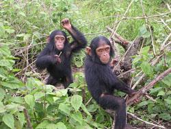 Young chimpanzees spend a lot of time playing and socializing with each other. This prepares them for life as adults. Image by Delphine Bruyere.