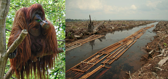 Deforestation is a big threat to orangutans in southeast Asia. These Great Apes live on islands, meaning they have nowhere to go when their habitats are cut down. Images by David Arvidsson and Aidenvironment respectively.