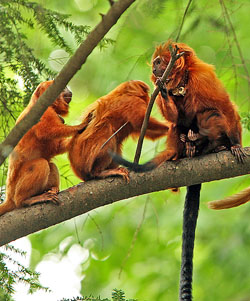 A golden lion tamarin family. Click for more detail.