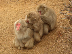 These Japanese macaques are grooming each other for ticks. Image by Noneotuho (talk).