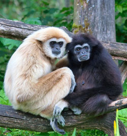 Gibbon pairs sing duets together every day. These duets mark their territory and tell other gibbon pairs to stay away. Image by MatthiasKabel (Own work).