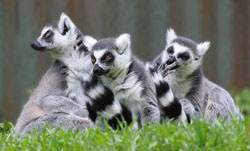 Ring-tailed lemurs are found on the island of Madagascar. They live in groups of up to 35 males and females. These primates use smells to mark their group territory and communicate with each other. Image by Chris Gin from Auckland, New Zealand.