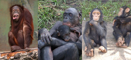Can you see a family resemblance in the pictures here? Great Apes share a lot of things in common with humans. Great Ape kids love to spend time with their family. They also like to goof off sometimes too. From left to right: Orangutan by Malene Thyssen, Bonobos by pelican, and Chimps by Afrika Expeditionary Force.