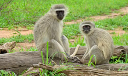 Vervet Monkeys use call systems to improve group safety. Click for more detail.