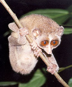 Can you see the primate features you share with this loris? Image by Dr. K.A.I. Nekaris.