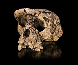 Sahelanthropus tchadensis, 7 million years old. Image by Didier Descouens.