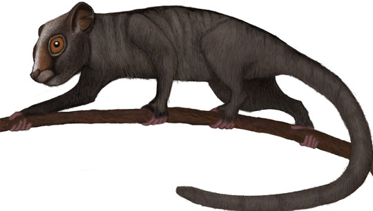 Carpolestes is a genus of small-bodied mammals that are either early primates, or closely related to the earliest primates. Genera like Carpolestes have grasping hands that may have been used to grab fruit from trees. These mammals had nails (like you) instead of claws (like squirrels and other mammals). Image by Sisyphos23.