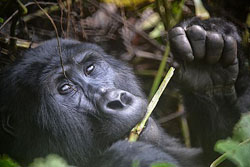You've probably seen a human eat with their hands, just like this gorilla is doing. Image by Rod Waddington.