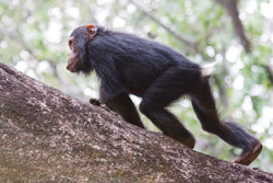 A chimpanzee walking quadrupedally. Our closest living relative walks on four legs while we have evolved the ability to walk on two. Image by Ikiwaner.