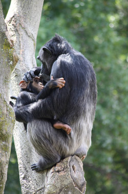 A chimpanzee infant grasping its mother with its hands and feet. The chimpanzees fur make holding on pretty easy. Image by derekkeats.