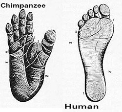 The big toe. Notice how our hallux, or big toe, is in line with the rest of our toes. This makes it easier to push our foot off the ground during walking. The chimpanzee foot, however, has a divergent hallux. This position is ideal for grasping tree branches. Image by Steve.