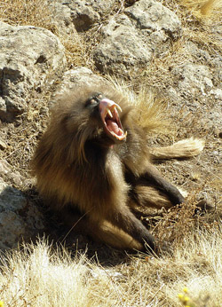 This male baboon bares his big canines to scare other males and impress females. Image by BluesyPete.
