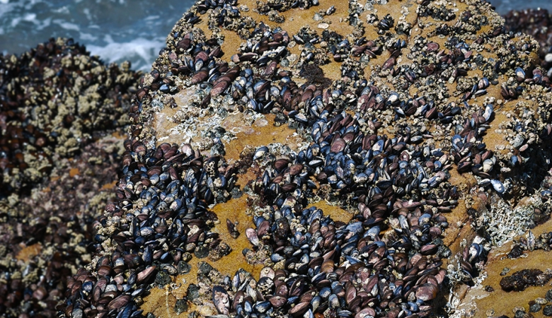 Mussels along the shore, Mossel Bay, South Africa