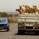 Camels getting a ride, Ethiopia