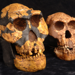Human skulls hold our disproportionately large brains